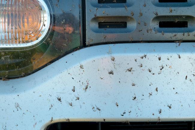 insecte-ecrasé-capot-voiture-ledependant